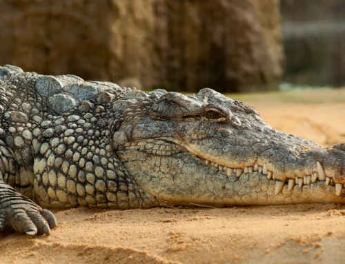 A Few Reasons to go on a Crocodile Tour in Costa Rica