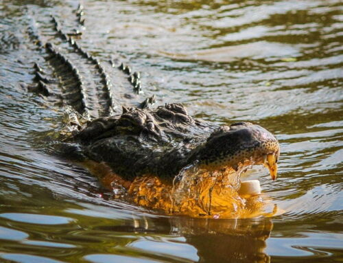 Everything You Need to Know About Crocodile Tours in Costa Rica